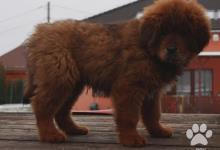 Inzercia psov: Tibetan mastiff červená štěňata