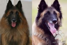 Inzercia psov: Belgický ovčiak Tervueren s PP