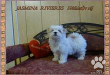 Inzercia psov: Maltézský psík s PP FCI
