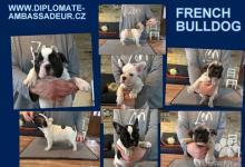 Inzercia psov: Štěňata francouzského buldočka s PP