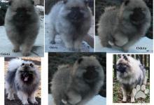 Inzercia psov: Keeshond / vlčí špic prodám kvalitní štěňata s PP