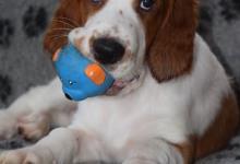 Inzercia psov: Írsky červenobiely seter