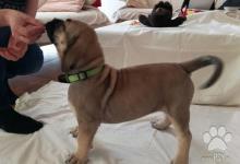 Inzercia psov: Prodej štěňat vzácného plemene BoerBoel