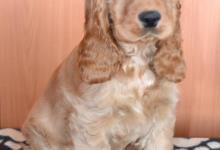 Inzercia psov: Štěňata anglického kokršpaněla - FCI