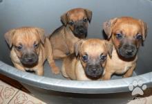 Inzercia psov: Patterdale terrier