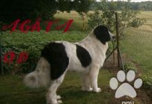 Inzercia psov: Štěňátka plemene Landseer