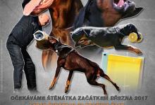 Inzercia psov: Dobrman - štěňata s PP