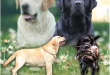 Inzercia psov: Labradorský retriever
