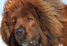 Inzercia psov: Tibetská doga červená štěňátka s PP