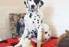 Inzercia psov: Dalmatinsky pes s PP