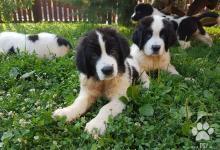 Inzercia psov: Landseer steniatká na predaj