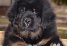 Inzercia psov: Tibetská doga - štěně s PP