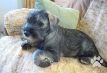 Inzercia psov: Bradáč stredný korenie a sol