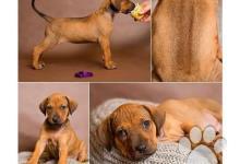 Inzercia psov: CHS Taranaki zadá standardní fenku RR