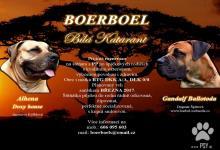 Inzercia psov: Boerboel s PP