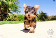 Inzercia psov: york mini mini yorkshirsky terier šteniatka