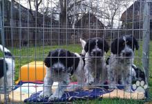 Inzercia psov: šteniatka plemena schapendoes z prvého vrhu na SR
