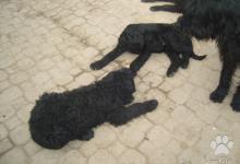 Inzercia psov: Predaj Bradač velky čierny