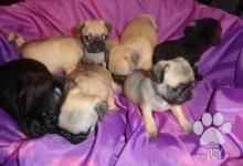 Inzercia psov: mops šteniatká