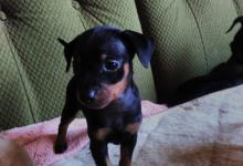 Inzercia psov: Predam steniatka ratlikov