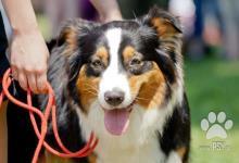 Inzercia psov: Austrálsky ovčiak šteniatka s PP zahraničné krytie