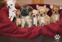 Inzercia psov: čivava krátko a dlhosrstá