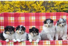 Inzercia psov: Kólia dlhosrstá - šteniatka