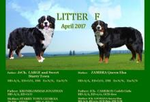 Inzercia psov: Bernský salašnický pes - štěňata s PP
