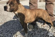 Inzercia psov: Krytie , Americký stafordšírsky teriér s PP