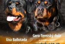 Inzercia psov: Zadám štěňata RTW