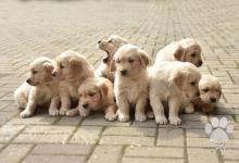Inzercia psov: Štěňata Zlatý retriver s PP