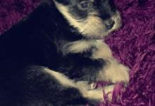 Inzercia psov: Yorkshire Terrier