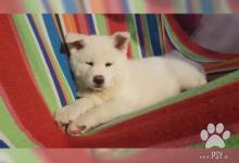 Inzercia psov: Štěně Akíta-inu s PP na prodej