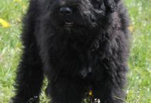 Inzercia psov: Štěně flanderského bouviera ihned k odběru.