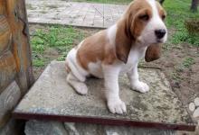 Inzercia psov: Švajčiarsky durič,švycký - šteňatá
