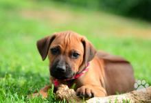 Inzercia psov: Rhodéský Ridgeback - štěňátka s PP