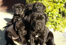Inzercia psov: Cane Corso šteniatka