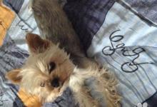 Inzercia psov: Hľadám mini yorkshira terriera do 1,8 kg na krytie