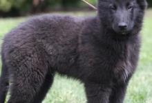 Inzercia psov: Belgický ovčák groenendael s PP