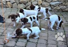 Inzercia psov: Francouzský krátkosrstý stavač pyrenejský typ