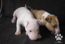 Inzercia psov: Mini bullterrier