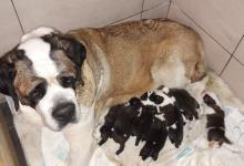 Inzercia psov: Svatobernardský pes
