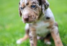 Inzercia psov: Louisianský leopardí pes s PP