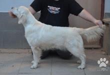 Inzercia psov: Zlatý retriever s PP 13 mes.  HD A/A, ED 0/0