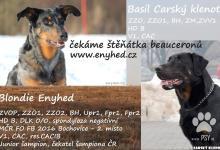 Inzercia psov: Beauceron - štěňata s PP na prodej