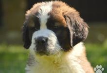 Inzercia psov: Bernardýn s PP (Svatobernardský pes PP)