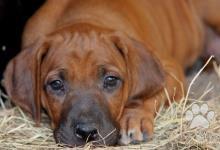 Inzercia psov: Rodézsky ridgeback- šteniatka