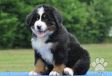 Inzercia psov: Bernský salašnický pes - štěňátka s PP (FCI)