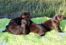 Inzercia psov: Štěňátka Labradorského retrívra