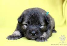 Inzercia psov: Nemecký špic vlčí - šteniatka